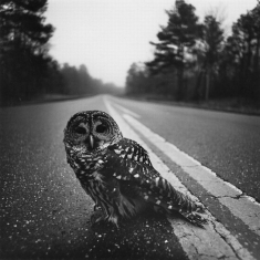 Owl on Road 1974 - 20 x 24 Photograph